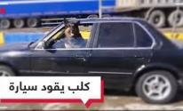 بالفيديو: كلب يقود