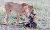 بالفيديو: كلب وحشي يتظاهر بالموت لينجو من بين فكي لبؤة!