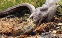 شاهدوا: أفعى تبتلع تمساحا ضخما بطريقة مذهلة