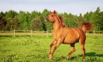 بالفيديو: الخيول العربية الأصيلة في السويد