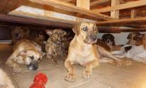 شاهدوا: مهمة صعبة ونبيلة كيف اجتمع 97 كلبا في بيت واحد؟