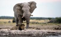 شاهدوا بالفيديو:  فيل يتغلب على 20 أسد  خلال معركة شرسة بينهم !