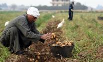 المحاصيل الزراعية في مصر