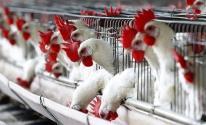 أسعار الدجاج والحبش في أسواق غزة اليوم الثلاثاء 19 مايو 2020