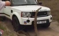 بالفيديو: بعد معركة مع ثعبان قاتل في السيارة