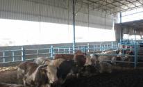 مزارع الأبقار غزة