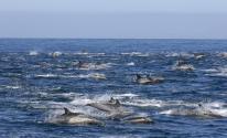 شاهدوا : الدلافين تحيط بـ