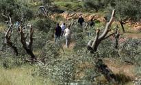 مستوطنون يقتلع أشجار الزيتون