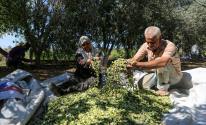 زراعة غزّة تُعلن عن موعد بدء قطف ثمار الزيتون