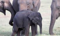 بالفيديو: قطيع من الفيلة في سريلانكا يبحث عن الأكل في القمامة
