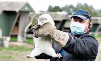 الدنمارك تخطط للقضاء على جميع حيوانات المنك في البلاد..بسبب كورونا