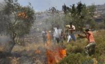 مستوطنون يحرقون مئات أشجار الزيتون