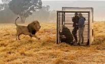 حديقه حيوانات في جنوب إفريقيا تضع الزوار في قفص لمشاهدة الأسود عن قرب