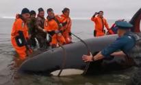 إنقاذ رضيع حوت أوركا القاتل من الموت باستخدام الحبال على شواطئ روسيا