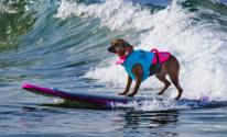 منافسة قوية بين الكلاب فى مسابقة أمريكية لركوب الأمواج