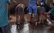 فيلة تضع توأمًا من الذكور فى سريلانكا لأول مرة منذ 80 عامًا