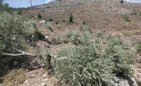 مستوطنون يقطعون عشرات أشجار الزيتون في نابلس