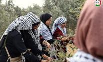 مبادرة تطوعية لجني ثمار الزيتون في رفح