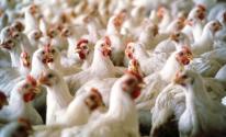 اسعار الدجاج