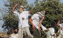 مستوطنون يسرقون ثمار مئات اشجار الزيتون