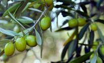 تراجع كميات الزيت والزيتون في غزة لهذا العام
