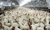 زراعة غزّة تُعلن عن انخفاض أسعار الدجاج