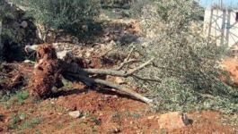 اقتلاع اشجار
