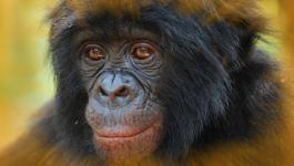 بالفيديو: شمبانزي يستخدم هاتفا ذكيا لتصفح