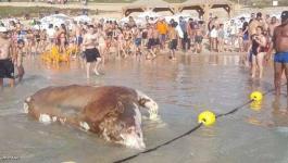 حالتان بـ9 أيام جثث الأبقار تثير الاشمئزاز بشواطئ تل أبيب