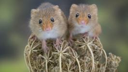 بالفيديو والصور: الفئران