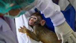زراعة جينات بشرية في مخ القرود
