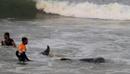 سريلانكا: إنقاذ 120 حوتا طيارا بعد