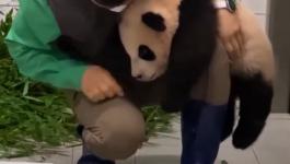 باندا تتعلق بساق عامل بحديقة حيوانات بكوريا الجنوبية