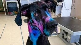 أمريكية تصبغ كلبها بالألوان المضيئة لمساعدة الآخرين على تقبله بسبب حجمه.