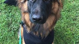 كلب ينجو من الموت بعد خضوعه لجراحة عاجلة بعد ابتلاعه سيخ كباب