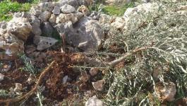 مستوطنون يقتلعون أشجار الزيتون