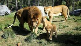 إصابة 8 أسود في حديقة حيوان هندية بـ