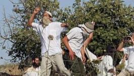 مستوطنون يسرقون ثمار مئات اشجار الزيتون بنابلس