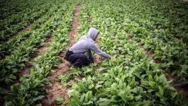 الزراعة بغزة