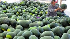 وزارة الزراعة تعلن منع استيراد البطيخ من اسرائيل