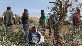 3 إصابات خلال التصدي لمستوطنين دمروا 30 شجرة زيتون جنوب نابلس.jpg