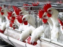 ارتفاع اسعار الدجاج