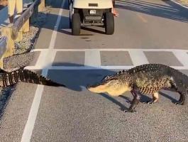 شاهدوا: تماسيح توقف حركة المرور أثناء عبور طريق في كارولينا