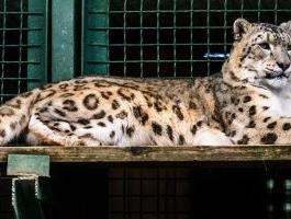 إصابة نمر ثلجى بفيروس كورونا فى حديقة حيوانات بأمريكا