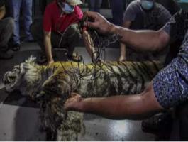العثور على نمر سومطرة النادر نافق بعد تعلقه فى فخ للحيوانات بإندونيسيا