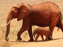 شاهدوا الفيديو: وللحيوانات حزنها.. فيلة تندب وليدها!