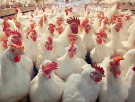 مزرعة دجاج