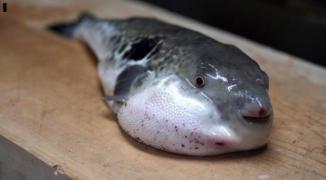 لجان الصيادين: يمنع منعاً باتاً بيع سمكة الأرنب في قطاع غزة