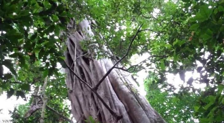 """""""أطول شجرة"""" في الأمازون تنجو من الحرائق"""