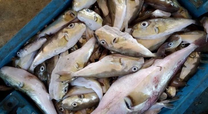 سمك الارانب6.jpg